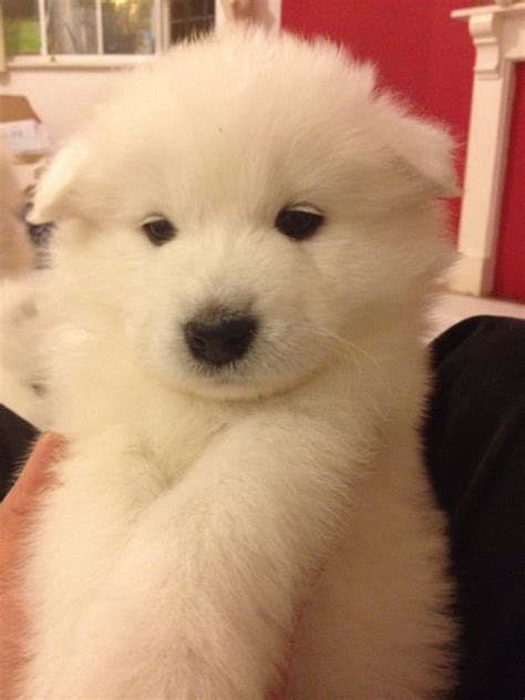 samoyed puppies for adoption samoyed puppies for sale coventry west midlands
