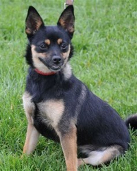 pomeranian chihuahua rat terrier mix adopted affenpinscher affenpinscher zoe animal education rescue