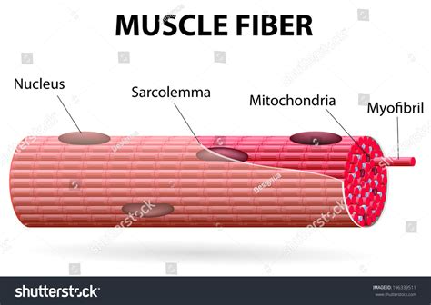 striated cell diagram skeletal cells tubular they stock vector