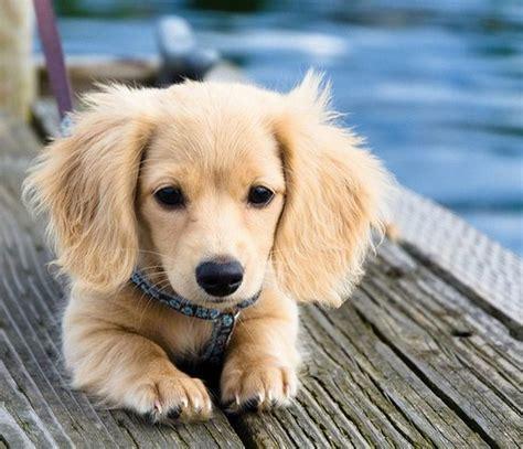 half golden retriever half dachshund for sale best 25 haired dachshund ideas on haired miniature dachshund