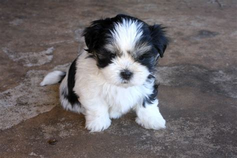 maltese shih tzu breeders nsw for sale maltese x shih tzu puppies now available 2 left