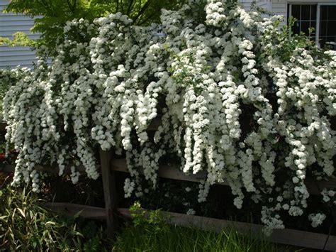 stock photo spiraea x vanhouttei bridal wreath spirea