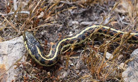 Garter Snake Live Hinterland Who S Who Western Garter Snake