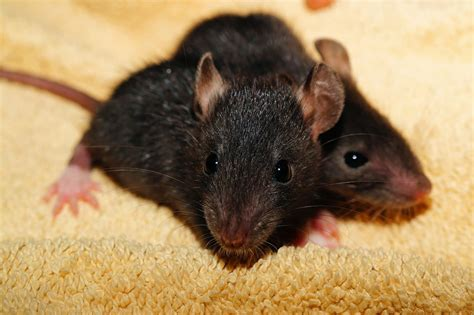 ate rat poison home remedy difference between a rat and a mouse manvspest
