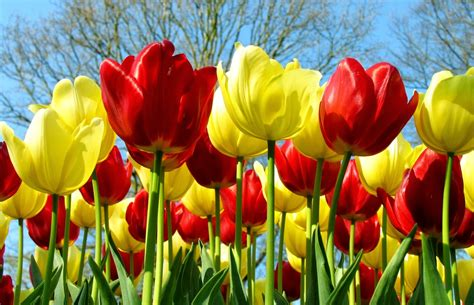 wallpaper bunga tulip hd pin wallpapers bunga mawar the on pinterest