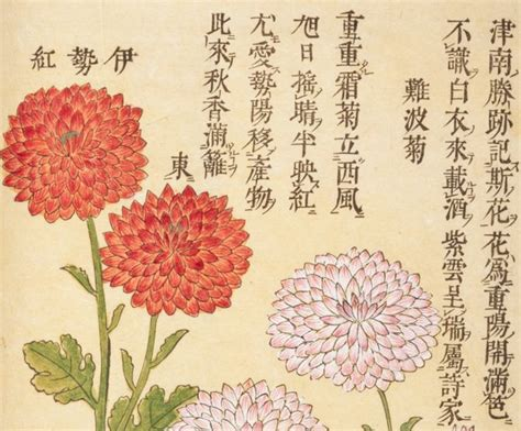 chrysanthemum picture book picture book of chrysanthemums world digital library