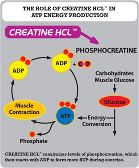 creatine no bloat sd pharmaceuticals creatine hcl powder at supplementsource