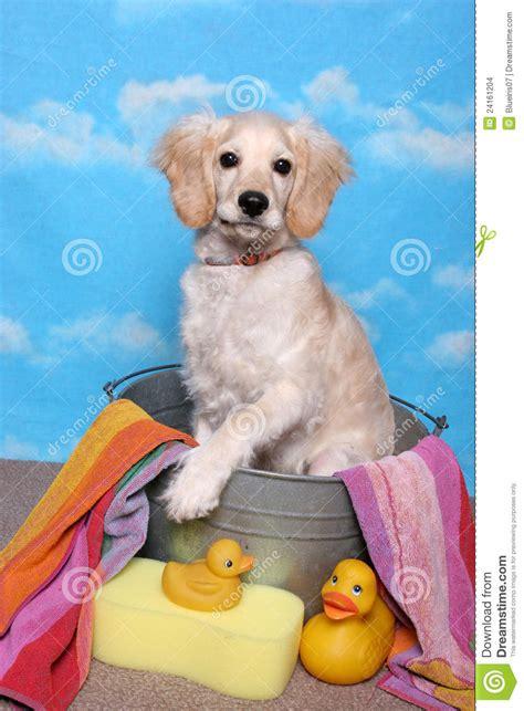 golden retriever puppy bath time golden retriever puppy in a bath tub stock images image 24161204