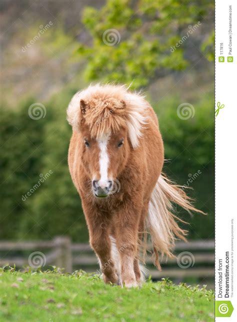 Shetland Pony Stock Photos Images Royalty Free Shetland | shetland pony royalty free stock image image 117816