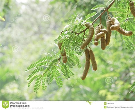 falling on tamarind trees a travelogue of books tamarind tree royalty free stock images image 34653009