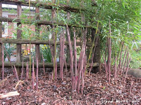 how to grow bamboo in cold climates