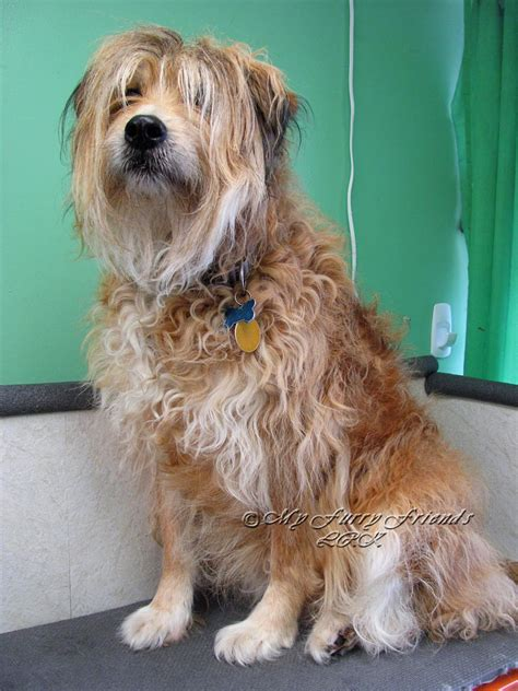 different cuts for terrier mix different cuts for terrier mix newhairstylesformen2014 com