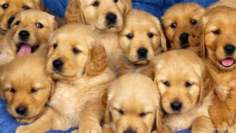 cost of a golden retriever puppy golden retriever cost 11 free hd wallpaper dogbreedswallpapers