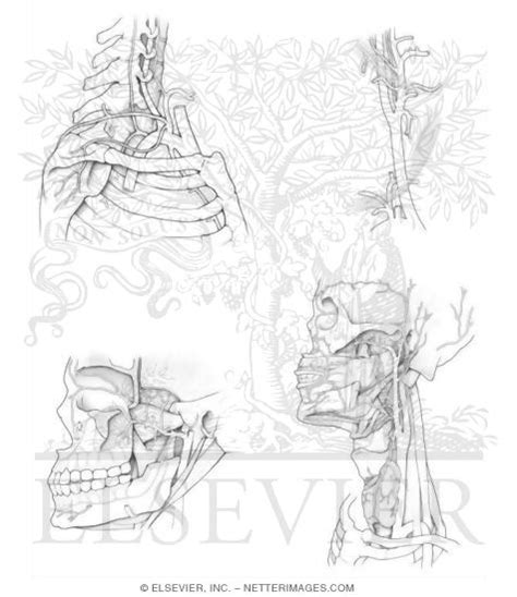 coloring page of arteries my blog