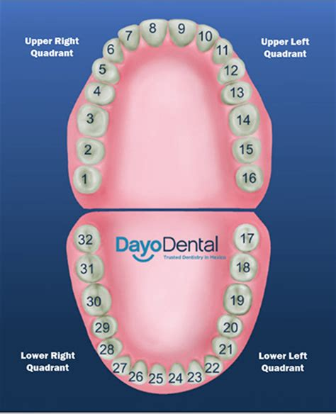 tooth diagram numbers teeth numbers and names human teeth chart