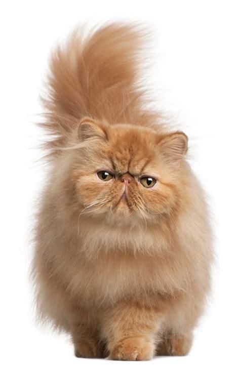 persian cats in orlando my persian kittens persian ra 231 as de gatos saiba mais sobre as caracter 237 sticas de