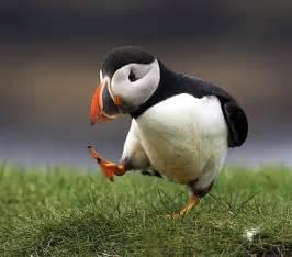 a puffin bird walks very worried pixdaus