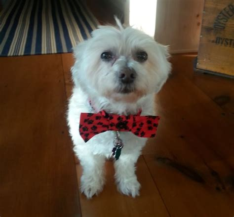 havanese rescue md 1000 images about adoptable dogs mostly havanese on