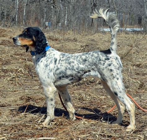 bird dogs for sale northwoods bird dogs setter pointers for sale