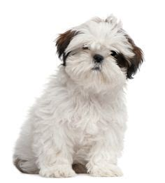 shih tzu number of teeth 1000 images about breeds on dogs papillons and spaniels