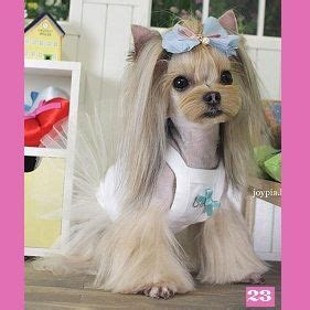 japanese style grooming yorkie 25 best ideas about yorkie hairstyles on puppies