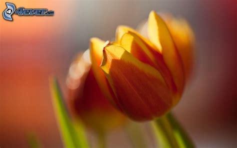 fiore tulipano tulipano