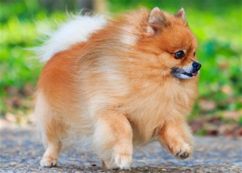 how big do pomeranian dogs get pomeranian insurance breed facts health information