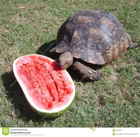 Jumping Beans Gir Watermelon Pink 2d tortoise watermelon stock images image 1957954
