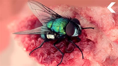 blo fly murda the flies on a dead body can help solve a murder youtube