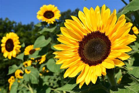 free photo sunflower sunflower field yellow free