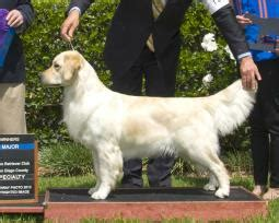 golden retriever club of san diego image