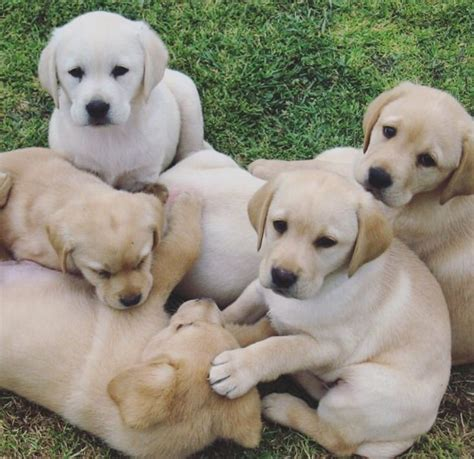 golden labrador puppies gorgeous golden labrador puppies newcastle lyme staffordshire pets4homes