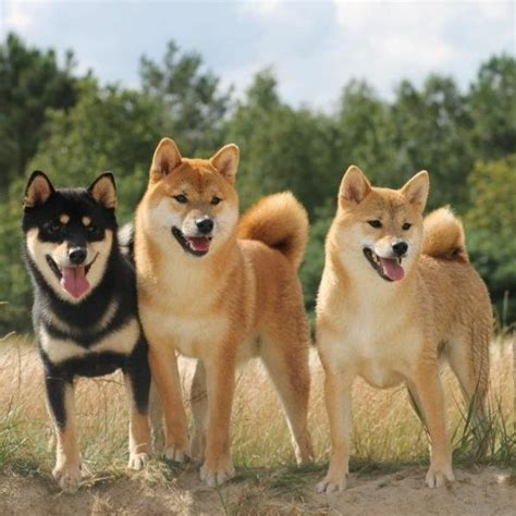 imagenes de animales japoneses nombres para perros en japon 233 s