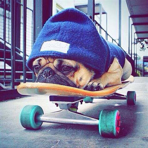 pug skateboard 19 reasons pugs are actually the worst dogs to live with