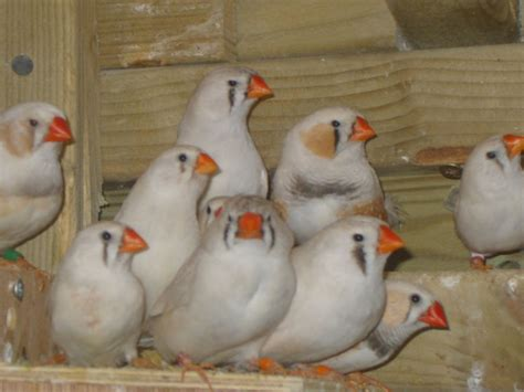 CFW Zebra Finches 26 in total   Chesterfield, Derbyshire