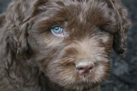 mini goldendoodles northern california chocolate and chocolate labradoodle on
