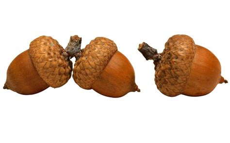 can dogs eat acorns can conkers and acorns make dogs ill the potential perils of autumn gardens for dogs