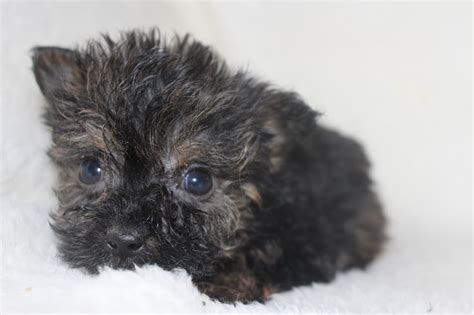 teacup yorkie rescue rescue chicago teacup yorkies teacup yorkies chicago yorkie pets world