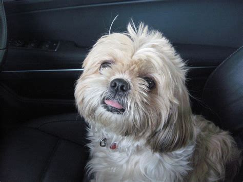 shih tzu wanted wanted pedigree shih tzu kc reg puppy glasgow lanarkshire pets4homes