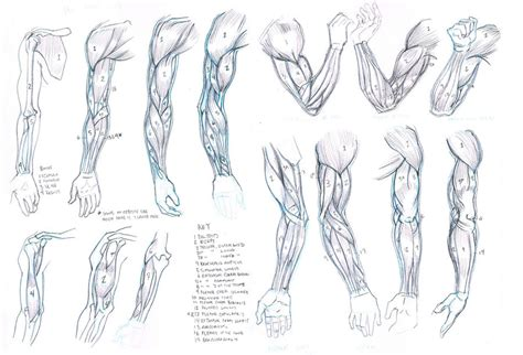 how to draw muscles studies front and back no clothing