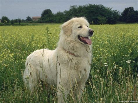 dog wallpapers wallpaper cave white dog wallpapers wallpaper cave