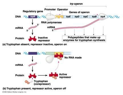 study guide chapter 12 section 4 gene regulation and mutations ch 18 regulation of gene expression at massachusetts