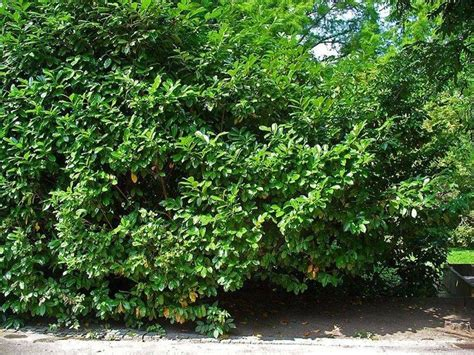 lauroceraso in vaso prunus laurocerasus piante da giardino coltivare il