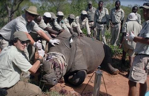 big rescue project measures rhinos with toxic horns in
