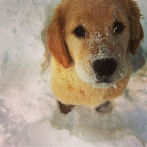 fluffy golden retriever 77 best images about golden retriever puppies on golden retrievers fluffy