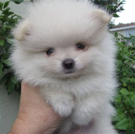 pomeranian for sale orlando pomeranian puppies tiny colors health guarantees for sale adoption from orlando