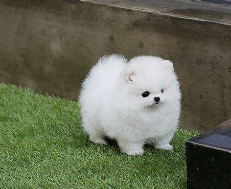 pomeranian puppies for sale indianapolis teacup pug puppys and stevie nicks on