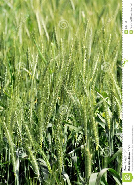 green wheat plants stock photos image 8472163