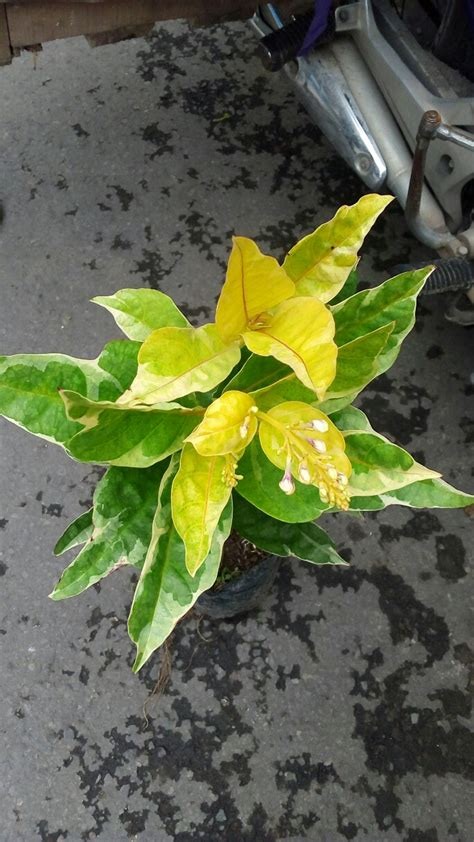 Tanaman Bunga Melati tanaman melati cina anget anget