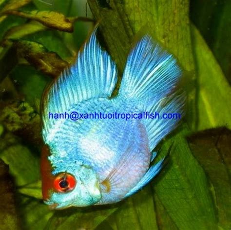freshwater ram sell electric blue ram tropical freshwater fish id